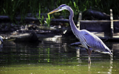 Blue Heron at Cootes
