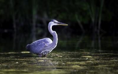 Heron near Kayak