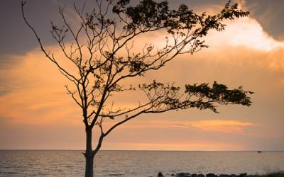 Hooper's Island Tree